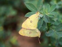 Paires d'erate de Colias, le papillon jaune opacifié pâle oriental photos stock