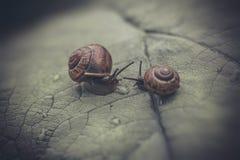 Paires d'escargots Photographie stock libre de droits