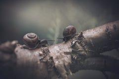 Paires d'escargots Photos libres de droits