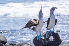 Paires d'idiots Bleu-aux pieds par la mer 5 photos libres de droits
