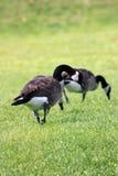 Paires d'oies Photographie stock libre de droits