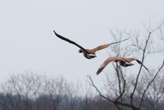 Paires d'oies de vol Photographie stock libre de droits