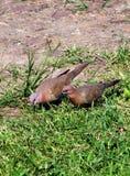Paires d'oiseau de colombe Photo stock