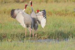 Paires d'oiseau de grue de Sarus dans l'amour photographie stock libre de droits