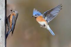 Paires d'oiseaux bleus photo libre de droits