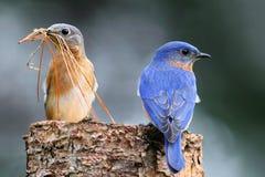Paires d'oiseaux bleus orientaux Photographie stock