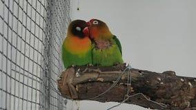 Paires d'oiseaux d'amour banque de vidéos