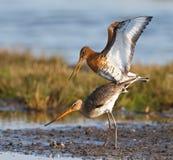 Paires d'oiseaux de marche dans l'eau Photo stock