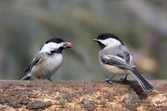 Paires d'oiseaux sur un logarithme naturel Photographie stock