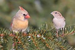 Paires d'oiseaux sur une branche Images libres de droits
