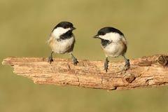 Paires d'oiseaux sur une branche Image stock