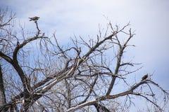 Paires d'Ospreys dans l'arbre nu images stock