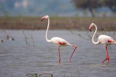 Paires d'un plus grand flamant, roseus de Phoenicopterus, mares de barrage d'Ujjani, Bhigwan, maharashtra photos libres de droits
