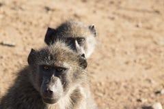 Paires de babouin Photo libre de droits