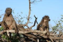 Paires de babouin dans un arbre Images libres de droits