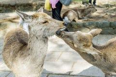 Paires de baisers de cerfs communs affrichés en Nara Park, Japon Photo stock