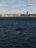Paires de baleines droites Photographie stock libre de droits