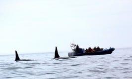 Paires de baleines passagères d'orque de Biggs Photographie stock libre de droits