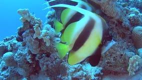 Paires de bannerfish de la Mer Rouge en mer tropicale sur le récif coralien banque de vidéos