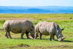 paires de blanc de rhinocéros images stock