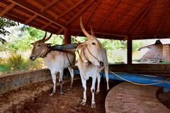 Paires de boeufs de travail dans l'Inde Photos libres de droits