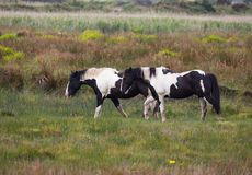 Paires de Brown foncé et de chevaux blancs frôlant dans le pré Photographie stock