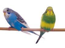 paires de budgerigar images libres de droits
