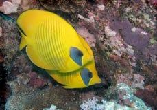 Paires de butterflyfish de Bluecheek de poissons de mer photos libres de droits
