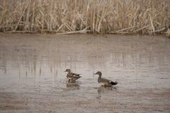 Paires de canard chipeau dans les marécages marécageux Image stock