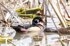 Paires de canard en bois, masculin/femelle dans le marais photos libres de droits