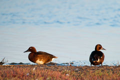 Paires de canard ferrugineux Photo stock