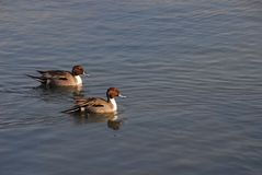 Paires de canard pilet du nord Photo stock