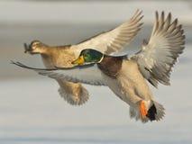 Paires de canards Image stock