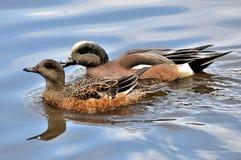 Paires de canards Photo stock
