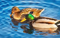 Paires de canards Photo libre de droits