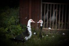 Paires de canards Photos stock
