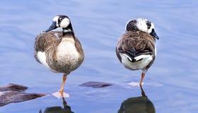 Paires de canards Photographie stock libre de droits