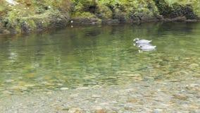Paires de canards bleus rares du Nouvelle-Zélande banque de vidéos