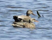 Paires de canards chipeau Images libres de droits