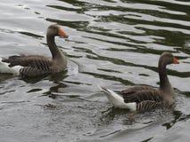 Paires de canards dans l'eau image libre de droits
