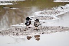 Paires de canards de canard souchet du nord Photographie stock