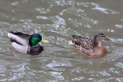 Paires de canards de canard sur l'eau Photographie stock