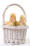 Paires de canards de chéri dans un panier de Pâques images libres de droits