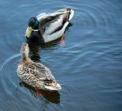 Paires de canards de colvert Photographie stock libre de droits