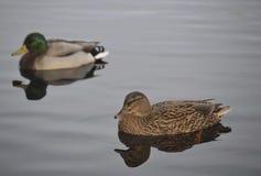 Paires de canards de colvert Image libre de droits