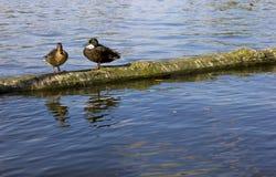 Paires de canards en nature Photographie stock