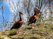 Paires de canards siffleurs Noir-gonflés, appréciant un jour d'hiver ensoleillé dans des marécages de la Floride image stock