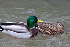 Paires de canards sur l'eau Images libres de droits