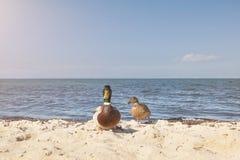 Paires de canards sur la plage Photo libre de droits