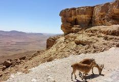 Paires de chèvres de montagne Images stock